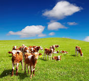 Grazing calves Royalty Free Stock Photo