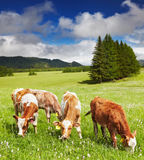 Grazing calves Stock Image