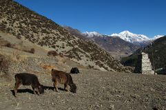 Grazing calves near Manang Royalty Free Stock Photography
