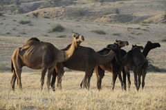 Grazing camels Royalty Free Stock Photos