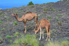 Grazing camels on a rocky, lava field Royalty Free Stock Photo