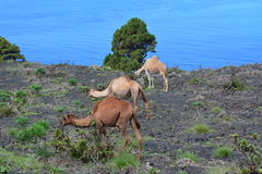 Grazing camels on a rocky, lava field Royalty Free Stock Images