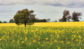 Grazing Canola alongside a field of Canola Stock Images