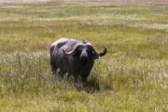 Grazing Cape Buffalo Stock Photos