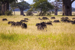 Grazing Cape Buffaloes Royalty Free Stock Photography
