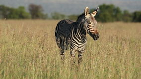 Grazing Cape mountain zebra stock video