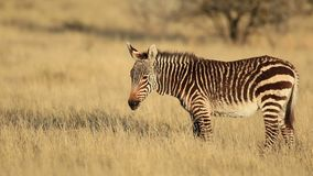 Grazing Cape mountain zebra stock footage