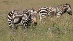 Grazing Cape mountain zebras stock video footage