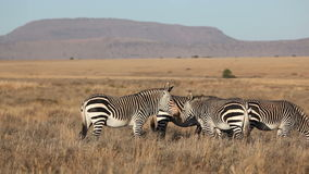 Grazing Cape Mountain Zebras Stock Images