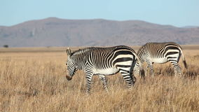 Grazing Cape Mountain Zebras stock video