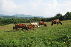 Grazing cattle Stock Photography