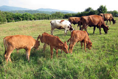 Grazing cattle Stock Image