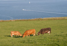 Grazing cattle. Three brown dairy cows grazing in a field of lush green grass overlooking the blue sea Royalty Free Stock Photos