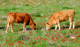 Grazing cattle Stock Photos