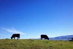 Grazing cattle. Against blue sky Royalty Free Stock Image