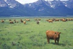 Grazing cattle, Centennial Valley, MT Stock Photo