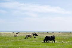 Grazing cattle at coast Stock Images