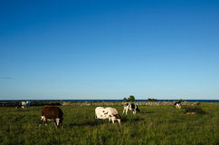 Grazing cattle in a coastal landscape Stock Images