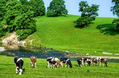 Grazing cattle in Cumbria, England Royalty Free Stock Image