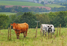 Grazing Cattle in an English Meadow Royalty Free Stock Photography