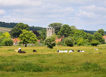 Grazing Cattle in an English Meadow. Cattle grazing in an English Meadow in Summer with Village in the background Stock Photography