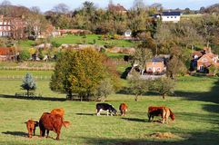 Grazing Cattle in an English Meadow Royalty Free Stock Photo