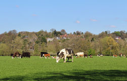 Grazing Cattle in an English Meadow Stock Photo