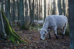 Grazing cattle in forest Stock Image