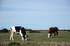Grazing cattle in a grassland Stock Photography