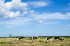 Grazing cattle. At the great alvar plain on the island Oland in Sweden Stock Photography