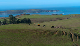 Grazing cattle on green fields. Near Point Reyes California. Pacific Ocean in the background Stock Image