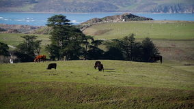 Grazing cattle on green fields stock video footage