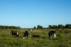 Grazing cattle in a green pasture land Stock Photos