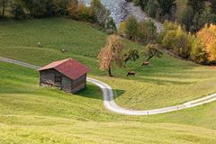 Grazing cattle at Isla pastures in sunny autumnal Ruinaulta royalty free stock photo