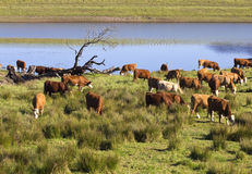 Grazing cattle beside lake Stock Image