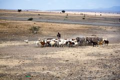 Grazing cattle stock photo