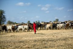 Grazing cattle royalty free stock images