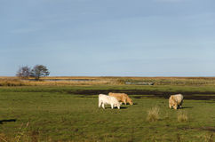 Grazing cattle in marshland Royalty Free Stock Photos