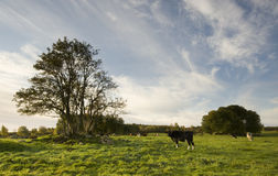 Grazing cattle Royalty Free Stock Photos