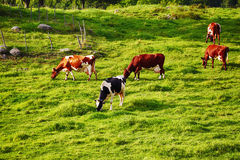 Grazing cattle in old rural area Stock Photo