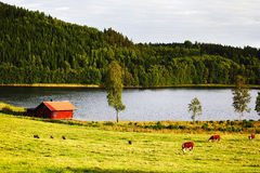 Grazing cattle in old rural area Royalty Free Stock Photography