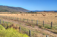 Grazing Cattle Overlooking Pacfiic Ocean Stock Image