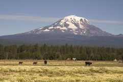 Grazing Cattle Ranch Countryside Mount Adams Mountain Farmland L. Cattle graze the day away on a Washington State Ranch Royalty Free Stock Photos