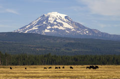 Grazing Cattle Ranch Countryside Mount Adams Mountain Farmland L. Mt Adams looms over lush ranch land in Washington state Stock Photos