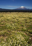 Grazing Cattle Ranch Countryside Mount Adams Mountain Farmland L. Ranch near the peak that is Mt Adams in Washington State Stock Photos
