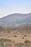 Grazing cattle. Red Angus, Hereford, Andes Mountains Stock Photos