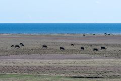 Grazing cattle by seaside Stock Photos