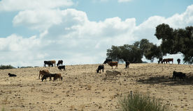 Grazing cattle in Spain Stock Photo