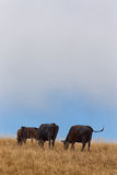 Grazing Cattle in Vertical on Rural Hillside Royalty Free Stock Image