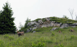Grazing chamois on the lawn in the mountains in summer Royalty Free Stock Photography